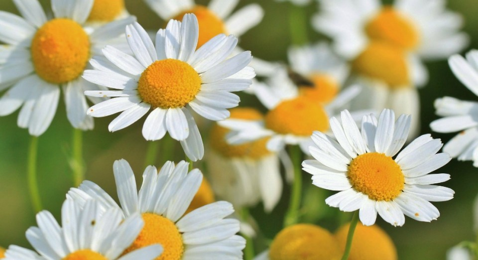 CHAMOMILE REDUCES TESTOSTERONE IN PCOS AND PROSTATE CANCER